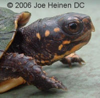 1 year old Eastern Box Turtle