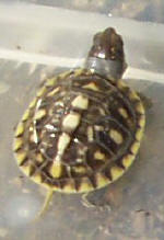 Yellow markings on a hatchling