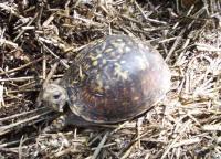 female Easten Box Turtle, T. c. carolina
