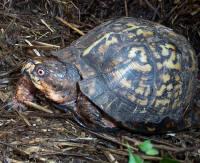 male Easten Box Turtle, T. c. carolina