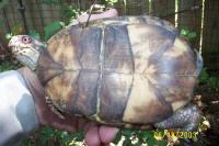 male Easten Box Turtle blotched plastron, T. c. carolina
