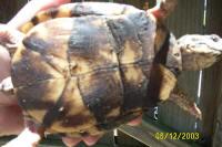 female Easten Box Turtle plastron, T. c. carolina