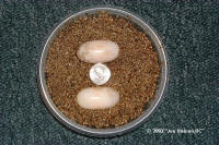 Box Turtle Eggs