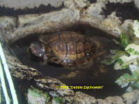 T. c. major, The Gulf Coast Box Turtle