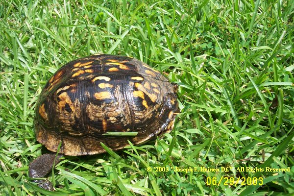 North American Box Turtles Shell Rot