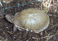 Female Three-toed box turtle with the classic olive carapace, T. c. triunguis