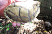 another plastral variation of a Three-Toed box turtle, T. c. triunguis