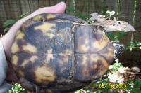 male Three-Toed box turtle with a patterned plastron, T. c. triunguis