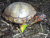 Male Three-Toed box turtle with white eyes, T. c. triunguis