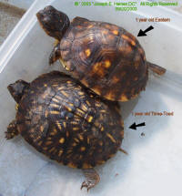 1 Year old Eastern and Three-Toed box turtles