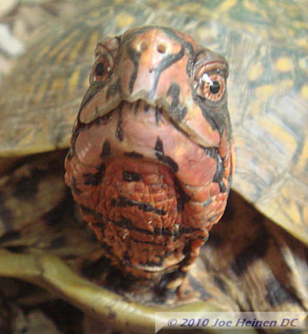three toed box turtle male